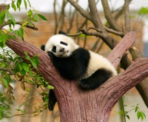 Sleeping giant panda baby