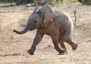 חירות - פיל רץ
